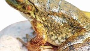 Fransa'da 'kurbağa'yla öne geçti, 23 ülkeden 110 milyon dolar geldi