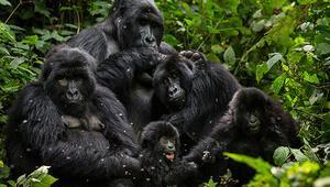 Virungada doğal hayatı korumak için tüm dünya seferber oldu