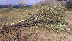 Çevre Mühendisleri Odasından ağaç katliamına çarpıcı rapor