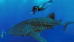 Sualtı tutkusu: Maldivlerve Balinaköpekbalığı