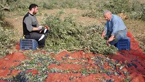 Yırca köylüleri köklenmiş zeytin ağaçlarından hasat yapmaya çalışıyor