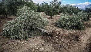 Kamulaştırma devam ederken ağaçları kestiler