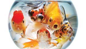 Japon balığı Bach'tan anlıyor