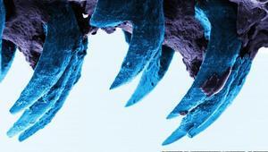 Dünya'daki en güçlü doğal madde bu hayvanın dişleri