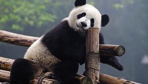 Müjde Pandalar kurtuluyor