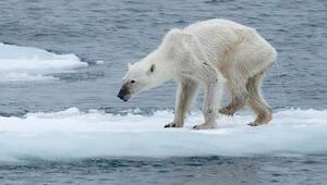 Yaklaşan felaket: Küresel ısınma kutup ayılarını böyle etkiledi