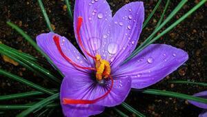 Bitkilerin kraliçesi: Safran