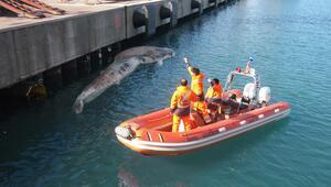 Hatayda iskeleye vuran ölü balina yavrusu incelemeye alındı