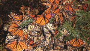Yavru kral kelebekleri göç yollarını bilmedikleri halde nasıl tek başlarına göç edebiliyorlar