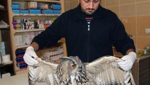 Otomobilin çarptığı puhu kuşu tedavi altına alındı