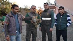 Yaralı puhu, doğaya salındı