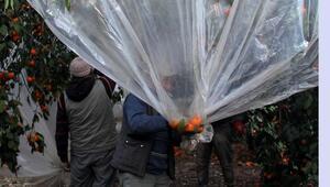 Naylonlu koruma mandalinanın değerini artırdı