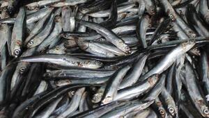 Ordulu Balıkçılar İçin Sezon Kısır Geçti