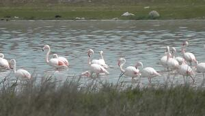 Kulu Düden Gölünde Flamingo Sayısı Artmaya Başladı