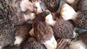 Beyşehir'de kuzu göbeği mantarı hasadı başladı