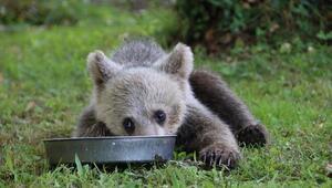 Trabzon'da yavru ayı korumaya alındı