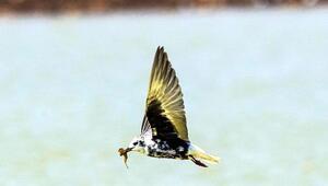 Karacadağın misafirleri: Akkanatlı sumru kuşları