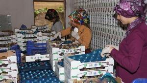 Bursada belediyeden Berlin'e siyah incir ihracatı