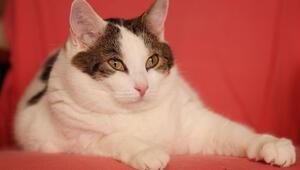 11 kiloluk kedi diyetle zayıflayacak
