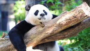Dev pandalar şimdilik kurtuldu, gorillerin nesli tehlikede