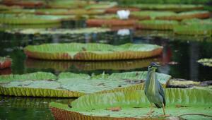 Hint Okyanusundaki dev leylaklar adası: Mauritius