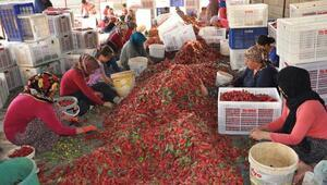 Kırmızı biber 2 bin kişiye istihdam sağladı