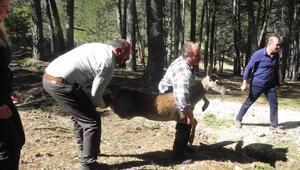 Kızıl geyikler ormana bırakıldı