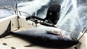 Dev balık Bodrumda oltaya takıldı