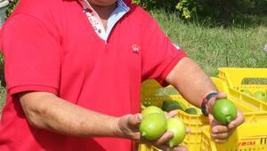 Mersinde limon üreticisi umutlu