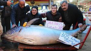305 kiloluk orkinosa yoğun ilgi