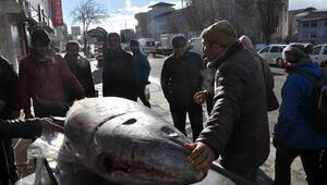 Kars'ta 250 kiloluk dev orkinos ilgi odağı oldu