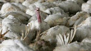 İngilterede kuş gribi vakası görüldü.. Kuş gribi nedir, belirtileri nelerdir