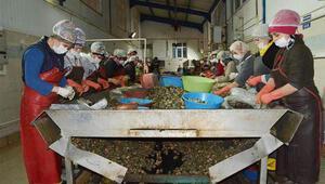 Sinop'tan Uzakdoğu'ya 550 ton deniz salyangozu satıldı
