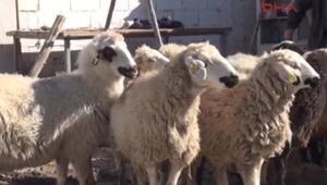 Vatandaş ucuz et için birleşip koyun alıyor