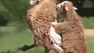 İki koyunla bisiklet sürdü