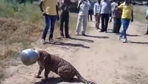 Su arayan leopar başını çömleğe sıkıştırdı