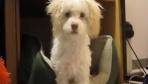 Suçüstü yakalanan köpek şahit bırakmaz istemezse