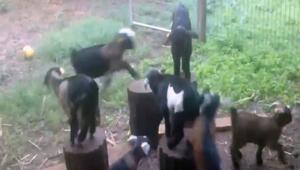 Keçilerin köşe kapmaca oyunu