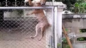 Bu köpek engel tanımıyor