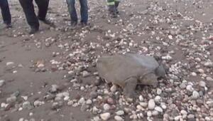 Dere yatağında bulunan Cantor kaplumbağası kurtarıldı