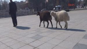Kuzularıyla gezen Erzurumlu Selami Yılmaz herkesin ilgi odağı