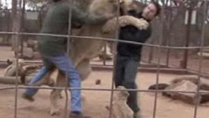 Aslanın kafesine girdi ve olanlar oldu