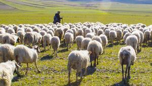 Çorum Valisi Kılıç: Çoban ithal edeceğiz