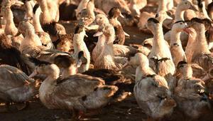 Fransa'da 1 milyon kaz ve ördek imha edilecek