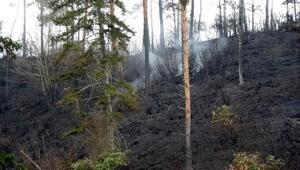 Çamburnu Tabiat Parkında çıkan yangında 20 hektar sarıçam kül oldu