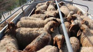 Akçakalede hayvan kaçakçılığına 2 gözaltı