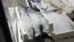 Keşan'da 400 kilo kaçak kılıç balığı ele geçirildi