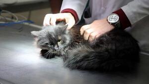 Diyaframı yırtılan kediye ameliyat