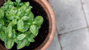 Evinizde yetiştirebileceğiniz 7 şifalı bitki