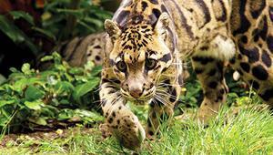 Himalayalar'da efsane leoparın peşinde